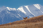 Whitetail buck and the Mission Mountains in western Montana
