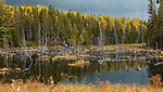 Drowned trees fall nature scenery. Algonquin Provincial Park, Ontario, Canada.