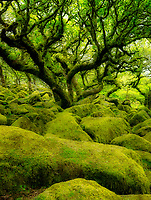 Moss covered oak trees in Wistman's Wood. Devon County. Dartmoor National Park, England