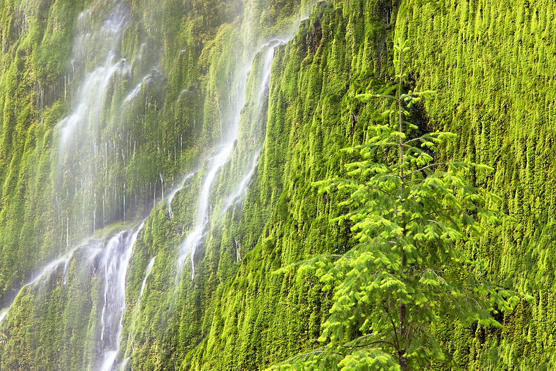 Seasonal waterfall into Tanner Creek with douglas fir tree . Columbia River Gorge National Scenic Area, Oregon