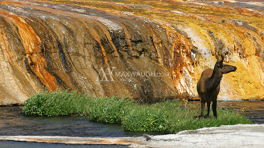 An elk pauses while grazing at Black Sand Basin.