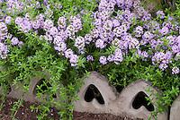 Thymus 'Jekka' thyme herb, creeping thyme in bloom