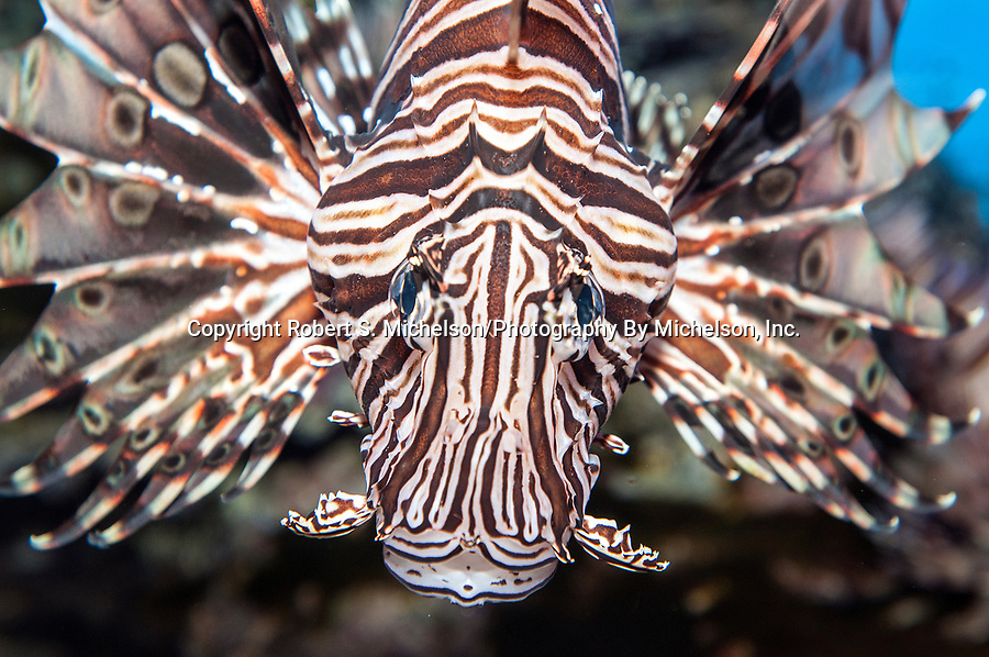 Red lionfish looking at camera, medium shot