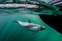 Peale's dolphin, Lagenorhynchus australis, adult, New Island, Falkland Islands, Falkland Islands, South Atlatnic Ocean