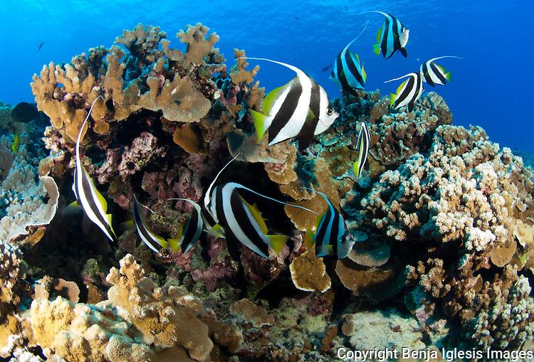 Pennant fish under coral reef, Molokini Maui Hawaii.