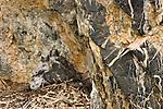 Two gyrfalcon chicks in their nest, Arctic National Wildlife Refuge, Alaska