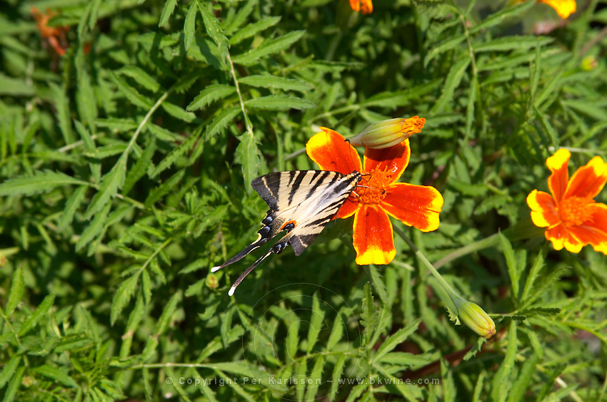 A pretty butterfly black and white with long tail on a yellow red orange flower. Hercegovina Vino, Mostar. Federation Bosne i Hercegovine. Bosnia Herzegovina, Europe.