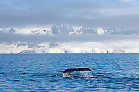 humpback whale, Megaptera novaeangliae, feeding in the waters off the western Antarctic Peninsula, Antarctica, Southern Ocean
