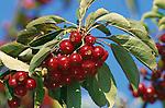 11083-CB Sugar Tyme Crabapple, Malus `Sutyzam', fruit cluster at end of branch, at Dayton, Oregon