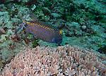 spotted boxfish, Bali, Indonesia 2018