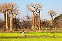 Women with child walking across rice field with Boabab trees {Adansonia grandidieri} in background. Morondava, Madagascar.