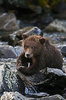 A photo of a grizzly cub sitting on some rocks in Alaska's Katmai National Park. Grizzly Bear or brown bear alaska Alaska Brown bears also known as Costal Grizzlies or grizzly bears Grizzly Bear Photos, Alaska Brown Bear with cubs. Purchase grizzly bear fine art limited edition prints here Grizzly Bear Photo Bear Photos,