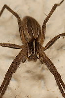 Listspinne, List-Spinne, Raubspinne, Brautgeschenkspinne, Jungtier, Pisaura mirabilis, fantastic fishing spider, Nursery web spider