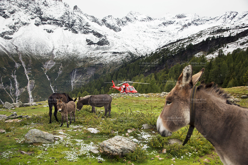 """Switzerland. Canton Ticino. Chironico valley. Intermediate landing for a Rega Agusta AW109 SP Grand """"Da Vinci"""" helicopter on a rescue mission. Four donkeys eat grass on pastures. All Rega helicopters carry a crew of three: a pilot  an emergency physician and a paramedic who is also trained to assist the pilot for radio communication, navigation, terrain/object avoidance, and winch operations. The pilot and the paramedic wait for a radio call from the emergency doctor, who has been winched down on the ground to give the prime cure at an injured hiker. The name Rega was created by combining letters from the name """"Swiss Air Rescue Guard"""" as it was written in German (Schweizerische Rettungsflugwacht), French (Garde Aérienne Suisse de Sauvetage), and Italian (Guardia Aerea Svizzera di Soccorso). Rega is a private, non-profit air rescue service that provides emergency medical assistance in Switzerland. Rega mainly assists with mountain rescues, though it will also operate in other terrains when needed, most notably during life-threatening emergencies. As a non-profit foundation, Rega does not receive financial assistance from any government. People in distress can call for a helicopter rescue directly (phone number 1414). The AgustaWestland AW109 is a lightweight, twin-engine, helicopter built by the Italian manufacturer Leonardo S.p.A. (formerly AgustaWestland, Leonardo-Finmeccanica and Finmeccanica). Leonardo S.p.A is an Italian global high-tech company and one of the key players in aerospace. In close collaboration with the manufacturer, the Da Vinci has been specially designed to cater for Rega's particular requirements as regards carrying out operations in the mountains. It optimally fulfills the high demands made of it in terms of flying characteristics, emergency medical equipment and maintenance. Safety, performance and space have been increased, and maintenance and noise emissions reduced. The Chironico valley is a valley lateral to the Levantina valley. 10.09.20"""