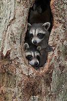 Raccoons, juveniles,  New Jersey
