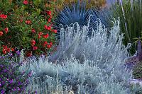 Artemisia filifolia - Sand Sage, Sagebrush, silver gray foliage California native perennial with Tecoma 'Crimson Flare' flowering tree; South Coast Research and Extension Center; University of California ANR