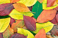 Leaves in Hoyt Arboritum from fall colored tupolo trees (Nyssa sylvatica). Washington Park. Portland. Oregon