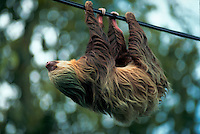 Two-toed sloth (Choloepus sp.)hanging from a wire. Costa Rica.