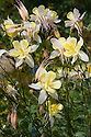 """Aquilegia chrysantha 'Yellow Queen', early June. """"Attractive grey-green, broadly divided leaves and long graceful stems supporting forward-facing pale lemon flowers. The species in its native southwestern United States is pollinated by long-tongued hawk moths, able to reach into the backswept spurs containing the nectar. 'Yellow Queen' flowers for longer than most columbines...Reliably perennial but tires with age."""" [Fergus Garrett, Great Dixter, Gardens Illustrated magazine, May 2013]"""