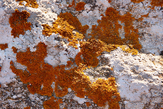 Crustose lichens growing on a rock on the Greek Island of Ios