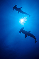 scalloped hammerhead sharks, Sphyrna lewini, Galapagos Islands, Ecuador, East Pacific Ocean
