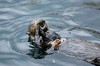 Southern Southern sea otter, Enhydra lutris nereis, feeding, Monterey, California, USA, Pacific Ocean, national marine sanctuary, endangered species