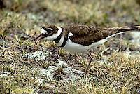 1K03-001z  Killdeer - adult eating worm prey - Charadrius vociferus