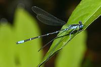 Aurora Damsel (Chromagrion conditum) Damselfly - Male, Ward Pound Ridge Reservation, Cross River, Westchester County, New York