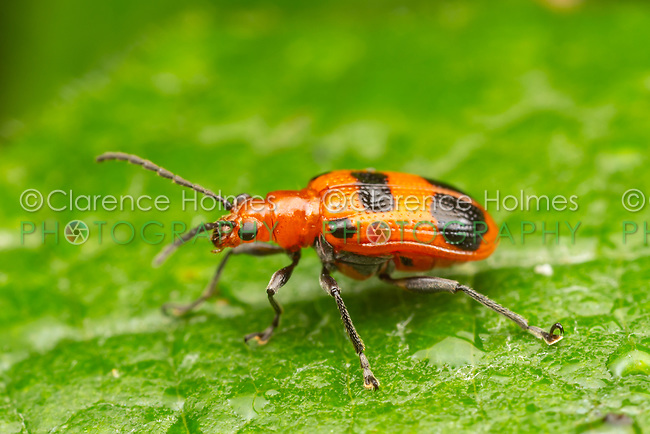A Six-spotted Neolema (Neolema sexpunctata) beetle perches on a leaf.