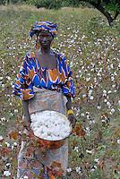 MALI , Bougouni, Fair trade und Biobaumwolle Projekt, Baumwollernte Frau Minata Samaké 31 Jahre aus Dorf Faragouaran/ MALI , Bougouni , women harvest fair trade organic cotton