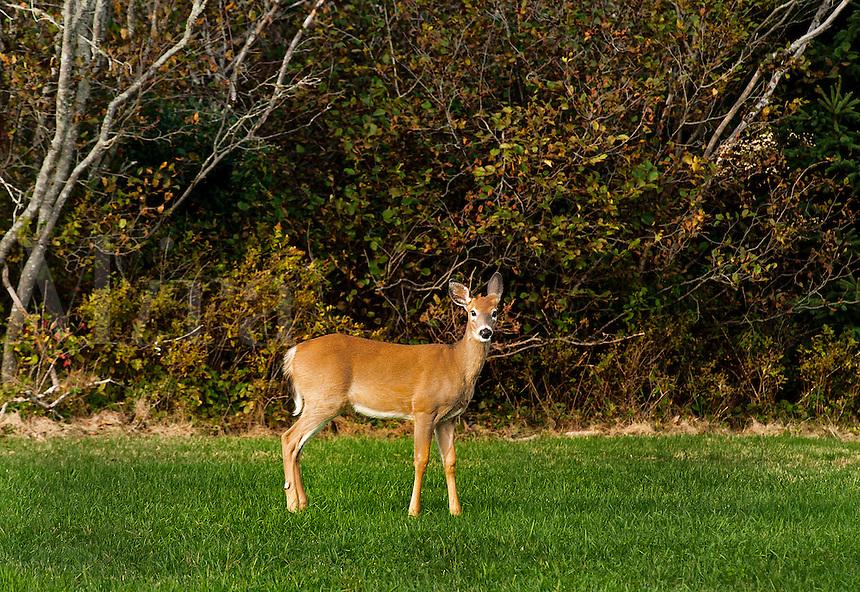 Alert white-tailed deer, Maine, ME, USA
