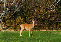 Alert white-tailed deer, Maine, ME, USA
