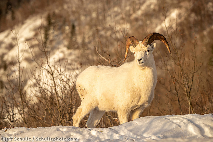 A half-curl Dall sheep ram in full winter coat paues in fresh snow in Chugach State Park and Chugach mountains. Winter Southcentral, Alaska<br /> <br /> <br /> Photo by Jeff Schultz/  (C) 2020  ALL RIGHTS RESERVED