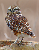 Adult burrowing owl