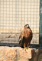 Stock photo: Common Buzzard sitting near a fence.