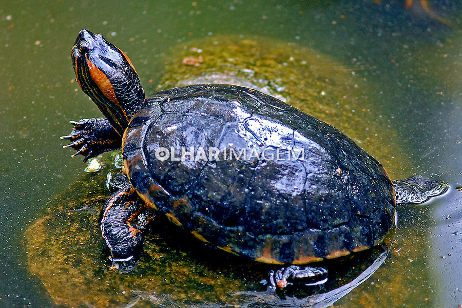 Animais. Reptis. Tartaruga (Trachemys scripta elegans). RJ. Foto de Luciana Whitaker.