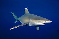 oceanic whitetip shark, Carcharhinus longimanus, Cat Island, Bahamas, Caribbean Sea, Atlantic Ocean