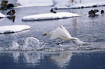 Trumpeter swan taking off from lake.
