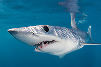 shortfin mako shark, Isurus oxyrinchus, aka blue pointer, Cabo San Lucas, Baja California, Mexico, Pacific Ocean