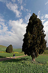 01-048 Cypress tree in Menashe Heights