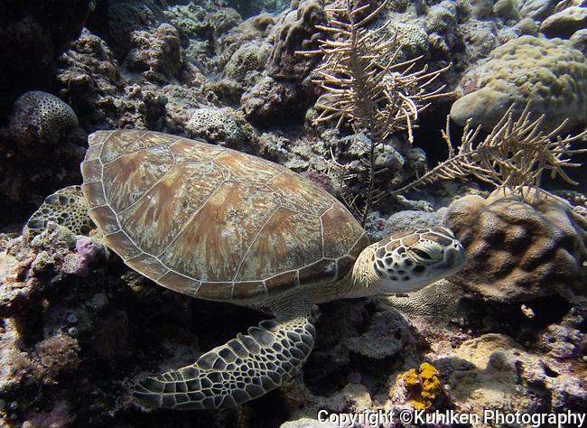 Sea turtle, Palau 2018
