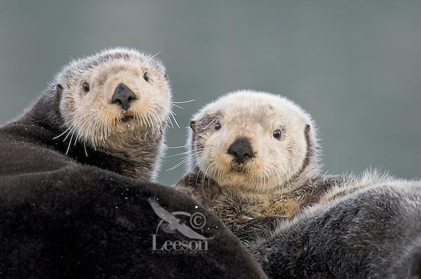 Alaskan or Northern Sea Otters (Enhydra lutris)