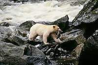 Kermode Black Bear (Ursus americanus kermodei) with salmon, Princess Royal Island, British Columbia.  Sept.