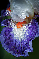 Close up of iris flower (Gypsy Lord) with rain drops. Schriners Iris Garden. Oregon
