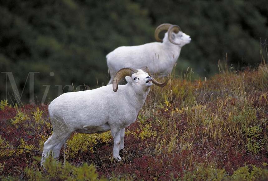 Dall sheep rams on fall tundra. Alaska USA Denali National Park.