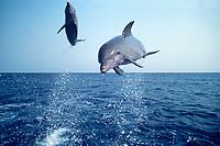 bottlenose dolphins, Tursiops truncatus, leaping, (c-r) Roatan, Honduras, Caribbean Sea, Atlantic Ocean