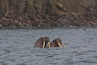 Walrus at Kolyuchin Island, Russian Arctic