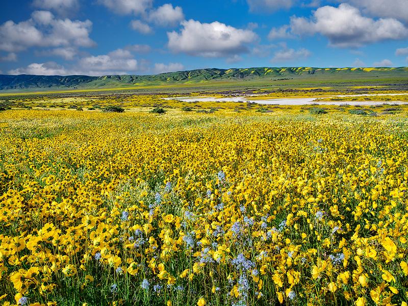 Field of Hillside Daisies (Monolopia lanceolata) and blue Native Mustard (Guillenia lemmonii) Carrizo Plain National Monument, California