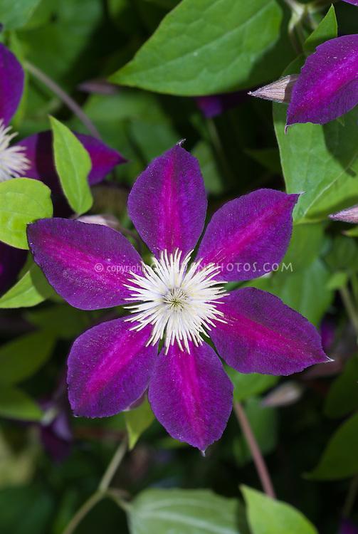 Clematis 'Mikelite' climbing flowering perennial vine