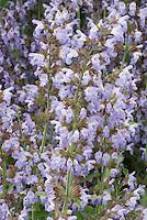 Salvia officinalis 'Greek'  culinary sage herb in bloom